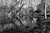 Tree Reflection(HDR)bw